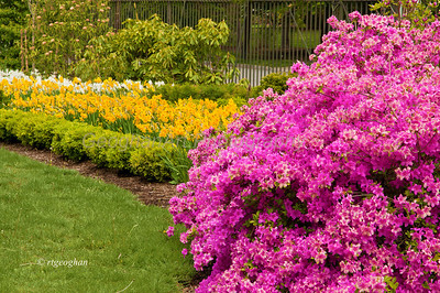 Day 127: VanVleckHouseandGarden - May 7.  Yellow and white daffodils and bright pink azaleas make a beautiful display in the front lawn of the VanVleck House and Garden in Montclair, N.J.   Thanks to all who commented on my PAD yesterday.