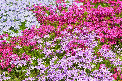 Day 121: Phlox - May 2.  Shades of pinks, lavenders, and also white are brightening local gardens as this phlox groundcover is coming into bloom.