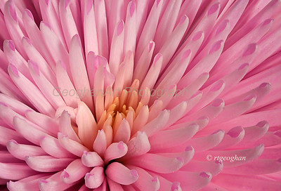 Day 134: Pink Chrysanthemum - May 16.  The last of the flowers from my Mother's Day bouquet.
