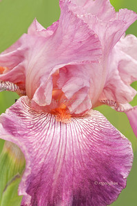 Day 136: Presby Memorial Iris Garden - May 18.  Tall Bearded iris named Autumn Rose.