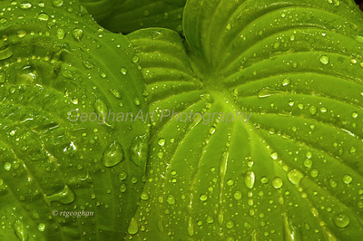 Day 128: Raindrops on Hosta Leaves - May 10.  More much needed rain yesterday.