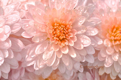 Day 290: Chrysanthemums and Raindrops - October 17.
