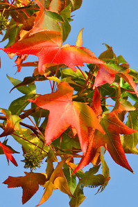 Day 291: Sweetgum Leaves - October 18.  A branch of a sweetgum tree with the leaves turnng to autumn colors.