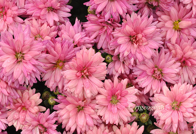 "Day 300: Pink Chrysanthemums - October 27.  It's 'P"" challenge day.  So many choices with this letter.  I chose this subject for Petals, Patterns, and Pink for breast cancer month."