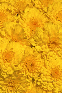 Day 263: Yellow Chrysanthemums - September 24.  Aburst of yellow cheer for today.