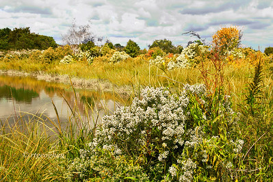 Day 267: Mill Creek Marsh-NJ Meadowlands - September 28.   The tree foliage is just beginning to turn for fall colors but very little so far.  However a walk in this Meadowlands Park yesterday offered some pretty scenes of shrubs and marsh grasses with lovely fall yellows and golds.