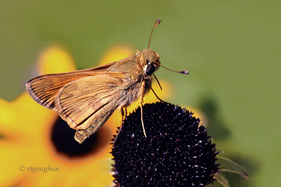 Day 247: Skipper Butterfly - September 8.  Black-eyed Susan flowers and butterfly sightings are both fading quickly as fall approaches. This Least Skipper was enjoying foraging on the flowerhead.