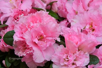 Day 106: Pink Azaleas - April 16.  A photo of beautiful pink double azaleas in bloom. .