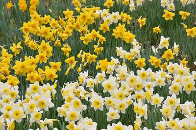Day 108: Daffodil Garden - April 18.