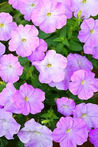 Day 233: Petunias Magenta - August 21.