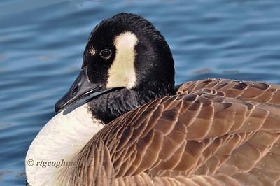 Day 022 Canada Goose Portrait  - Jan 22.
