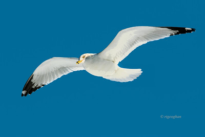 Day 010: Ring-billed Gull in Flight - Jan 10.    Sooo cold but really can't complain given the frigid temps that other parts of the country and Canada are experiencing.  A few quick shots this morning then back inside to get warm.