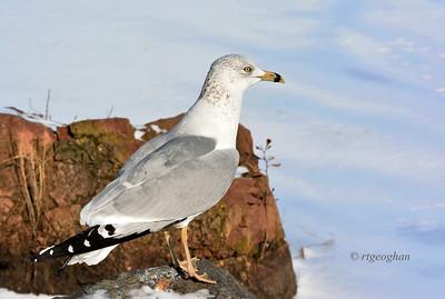 Day 023 Ring-billed Gull - Jan 23.