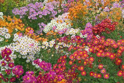 Autumn Aster Garden