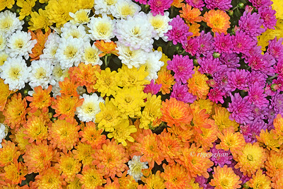 Chrysanthemum Display Multi-colored