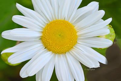 Shasta Daisy Portrait