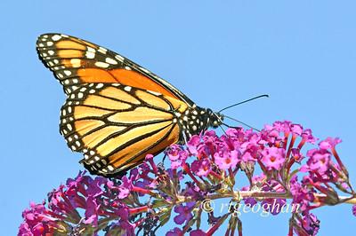 Monarch Butterfly_DeKorte Park