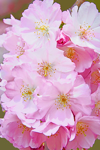 Cherry Blossom Pink Beauties 1