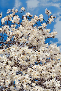 Blooming White Star Magnolia Tree