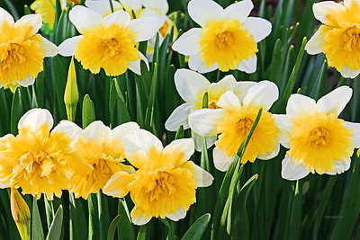 Daffodil Garden Cluster