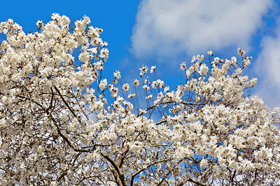 Whte Star Magnolia Tree