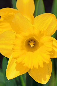 Yellow Daffodil Portrait