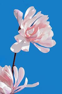 Pink Magnolia Blossoms andBlue Sky