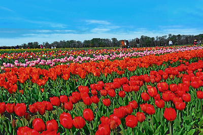 Holland Ridge Tulip Fields NJ
