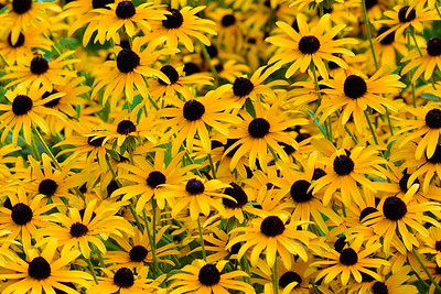 Field Full of Black-eyed Susans