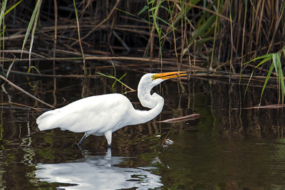 Great Egret Snack Time