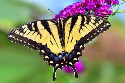 Eastern Tiger Swallowtail on Butterfly Bush