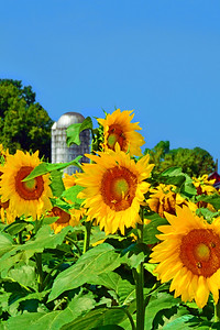 Sunflowers and Farm Silo