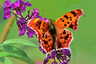 Question Mark Butterfly Beauty