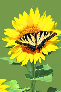 Eastern Tiger  Swallowtail Butterfly and Sunflower