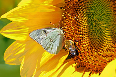 Sulpher Butterfly and Bee on Sunflower