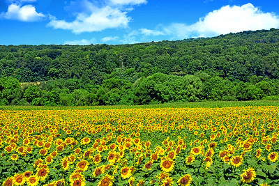 Sunflower Field of Joy