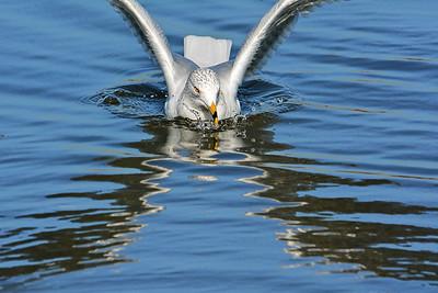 Ring-billed Gull Perfect Landing