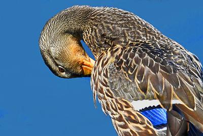 Preening Mallard Duck