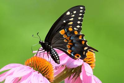 Black Swallowtail Butterfly on Coneflower