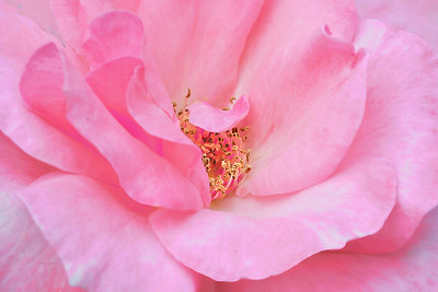 Pink Ruffled  Rose Portrait