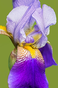 Bearded Iris Prospero Portrait on Green