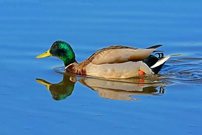 Swimming Mallard Drake