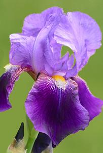 Iris-Pretty in Purple