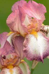 Bearded Iris-Tiffany