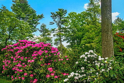 Blooming Rhododendron Garden