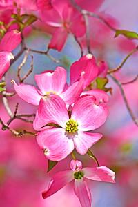 Pink Dogwood on Blue