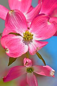 Pink Dogwood Floral Portrait