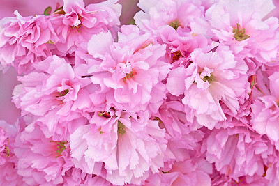 Ruffled Pink Cherry Blossoms