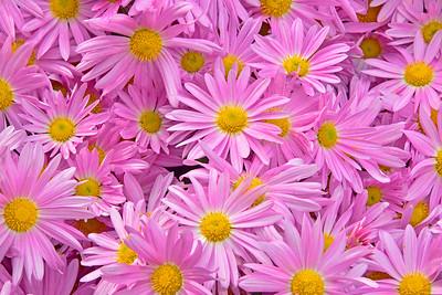 Pink Daisy Chrysanthemums 1