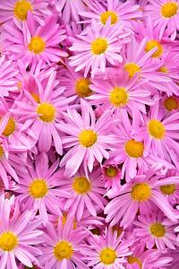 Pink Daisy Chrysanthemums 2